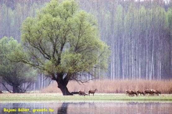 Bajomi Bálint: Tóparton legelő szarvasok