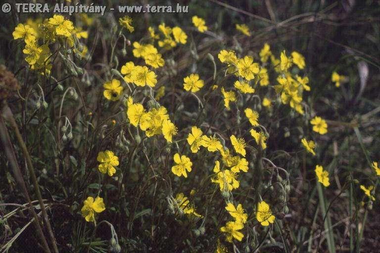 helianthemum.ovatum.2447.jpg