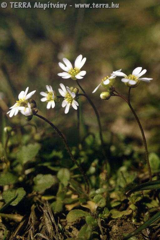 erophila.verna_.2331.jpg