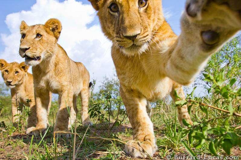 lioncub-play-beetlecamera-photowillburrardlucas.jpg