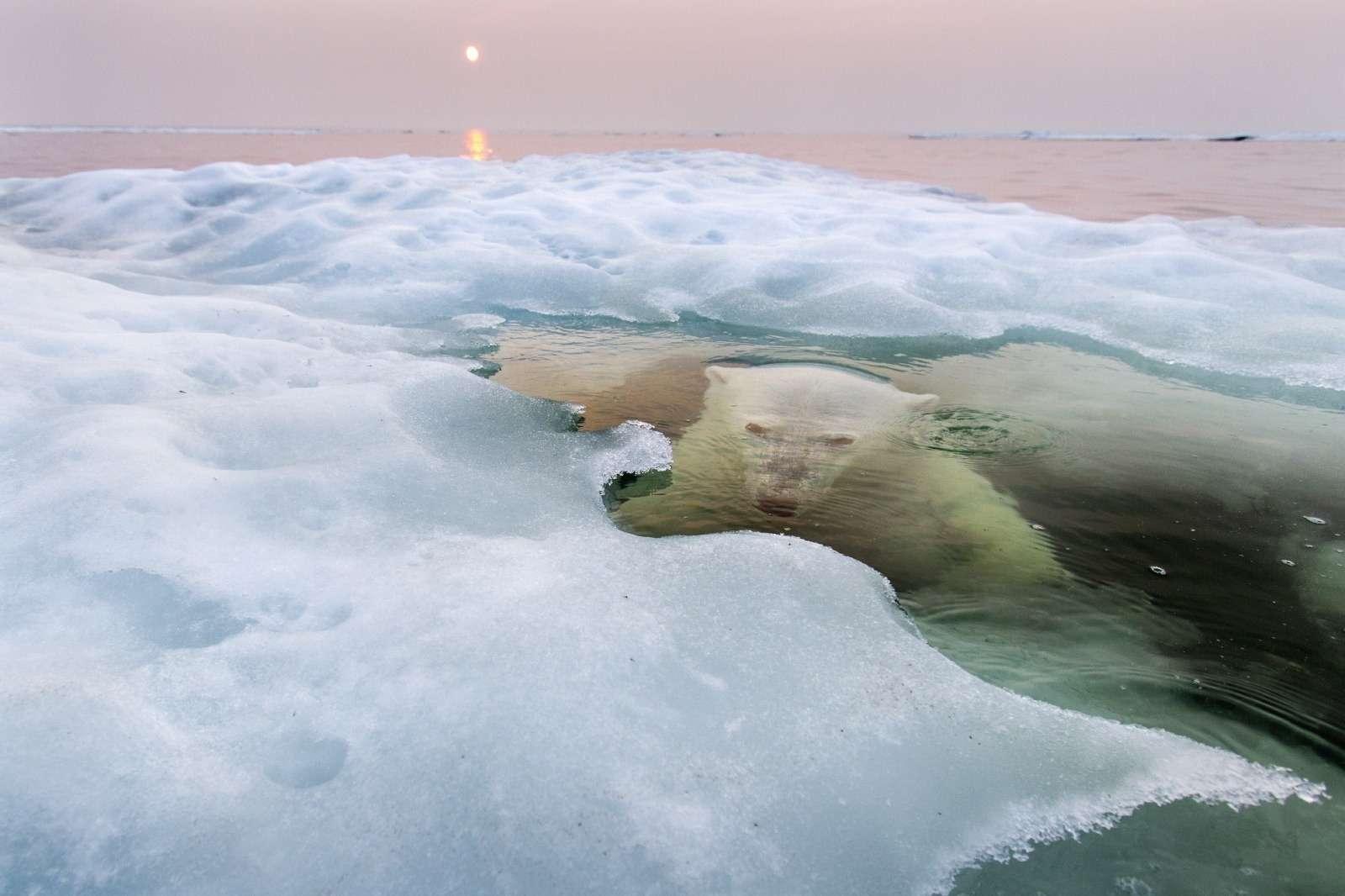Paul Souders: Ice Bear - fődíj és Természet kategória 1. helyezett