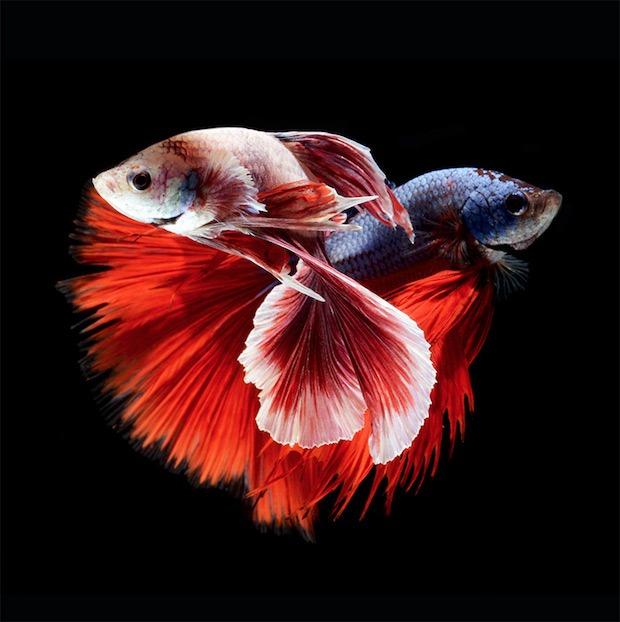 Angkatavanich Foto Siami Fish Fototvhu