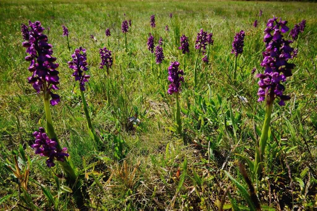 Orchideakavalkád a Páhi-réteken